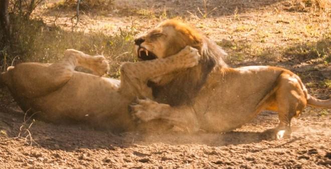 african lions fighting in selous on safari in tanzania